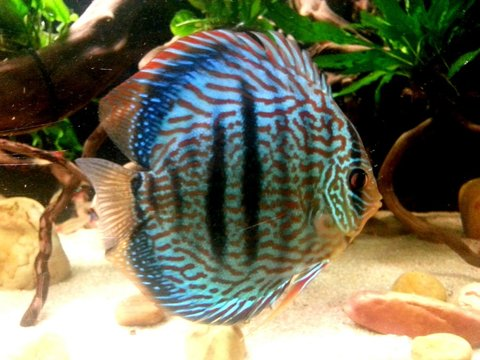 Discus 600L by charly  Heces_10