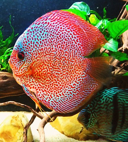 Discus 600L by charly  Img_2010