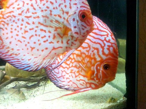 Discus 600L by charly  Picsar10