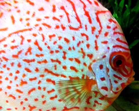 Discus 600L by charly  Picsar11