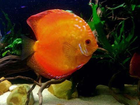 Discus 600L by charly  Picsar12