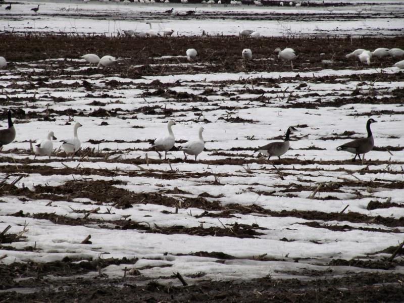 Oies blanches et Bernaches 25_avr11