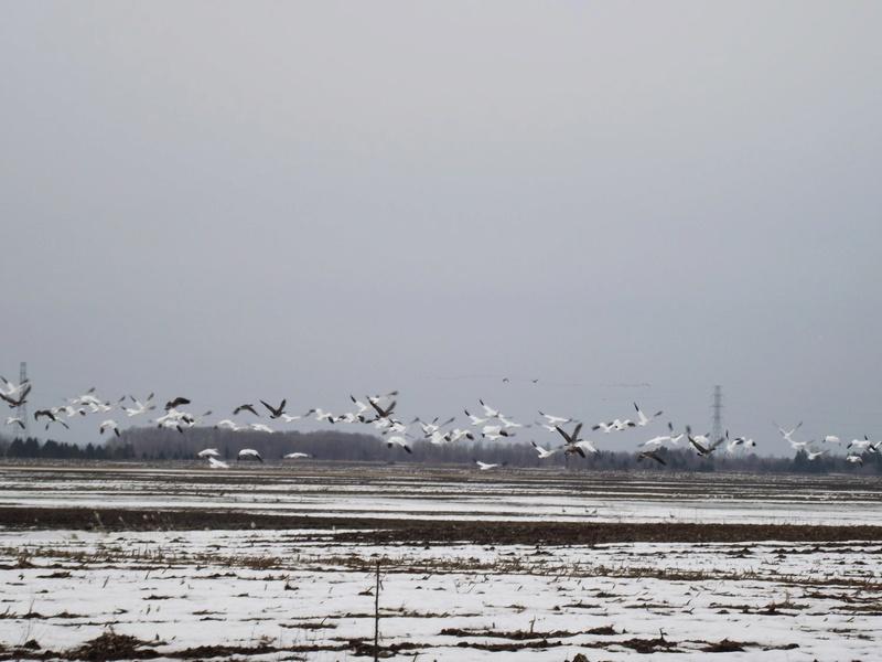 Oies blanches et Bernaches 25_avr12