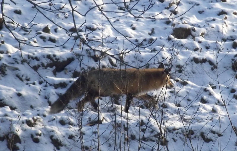 visite hivernal Coyote10