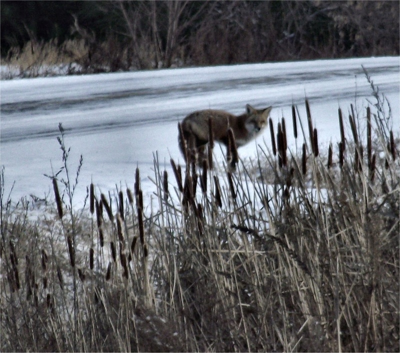 visite hivernal Coyote11