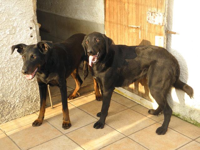 Eva, femelle Beauceronne née en 2009 ( adoptée)& Morissey (son fils) mâle croisé border, né en 2015 Evamor10