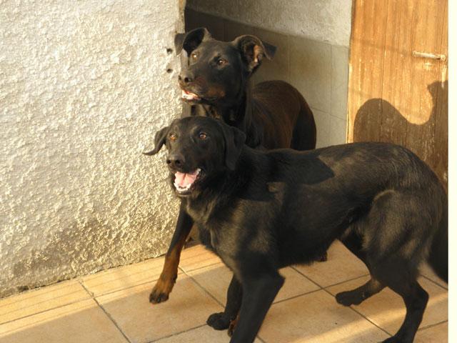 Eva, femelle Beauceronne née en 2009 ( adoptée)& Morissey (son fils) mâle croisé border, né en 2015 Evamor11
