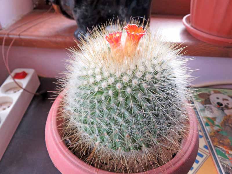 Floraison de cactus Img_6410