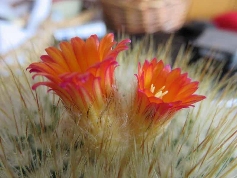 Floraison de cactus Img_6412