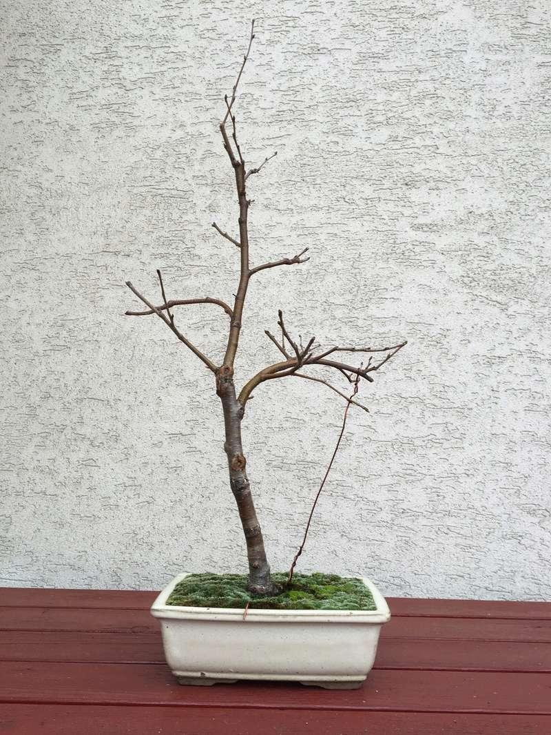 Birch from seed Bayyza13