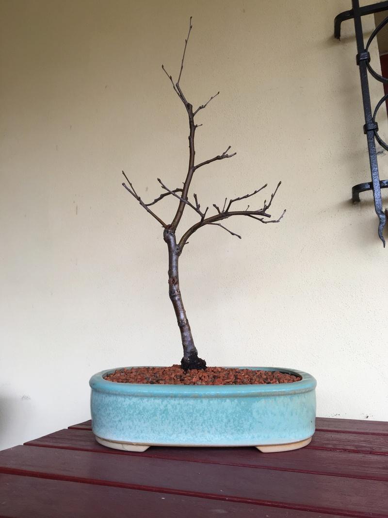 Birch from seed Bayyza14