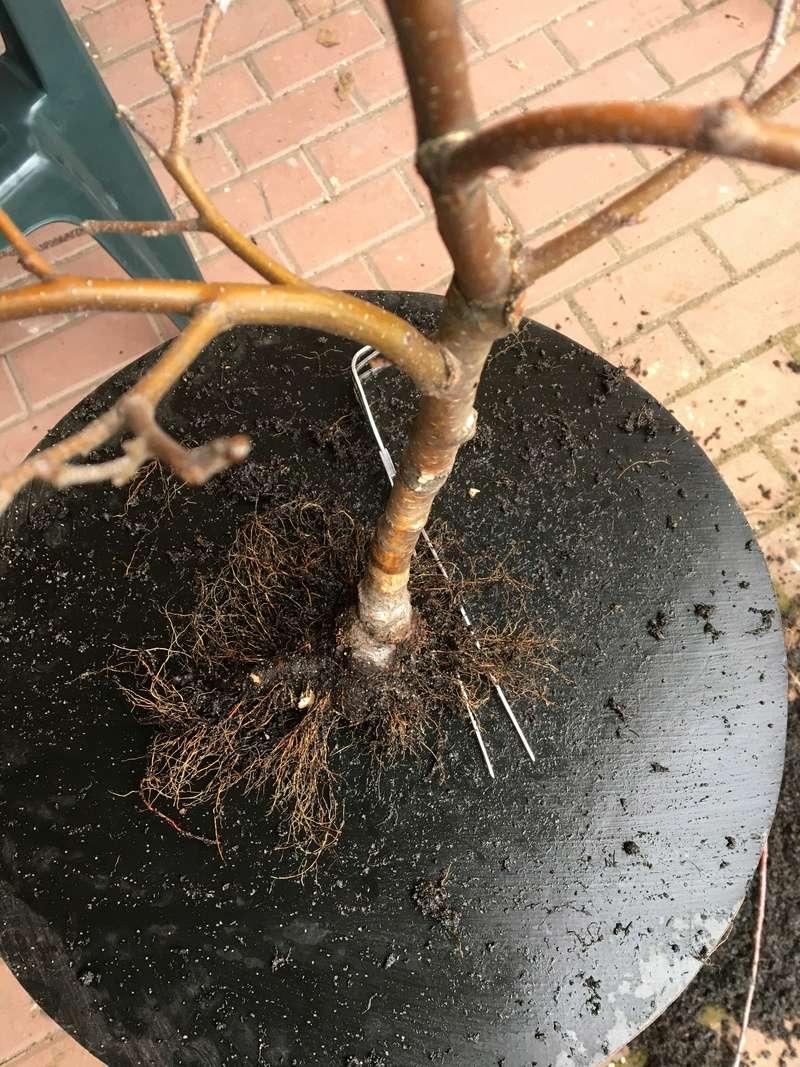 Birch from seed Bayyza15