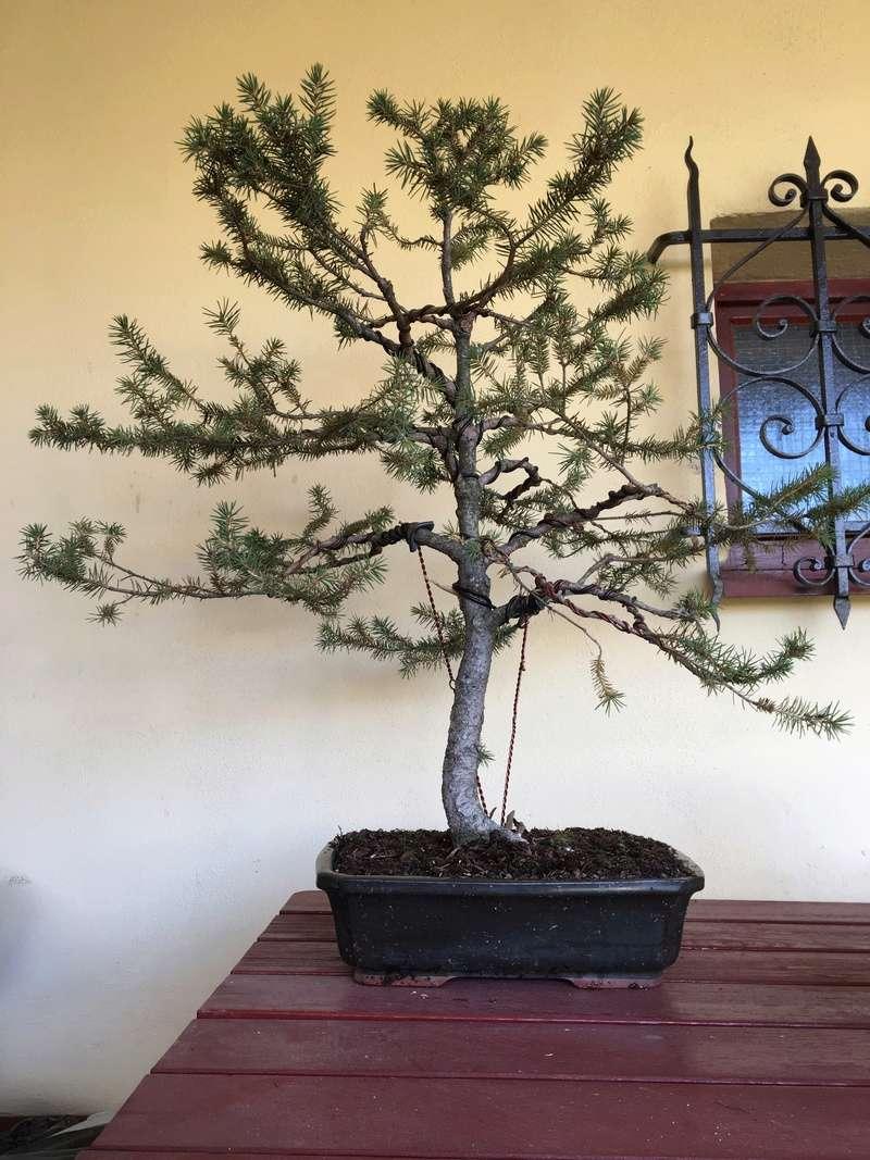 Spruce pruning - Page 2 Smraek11