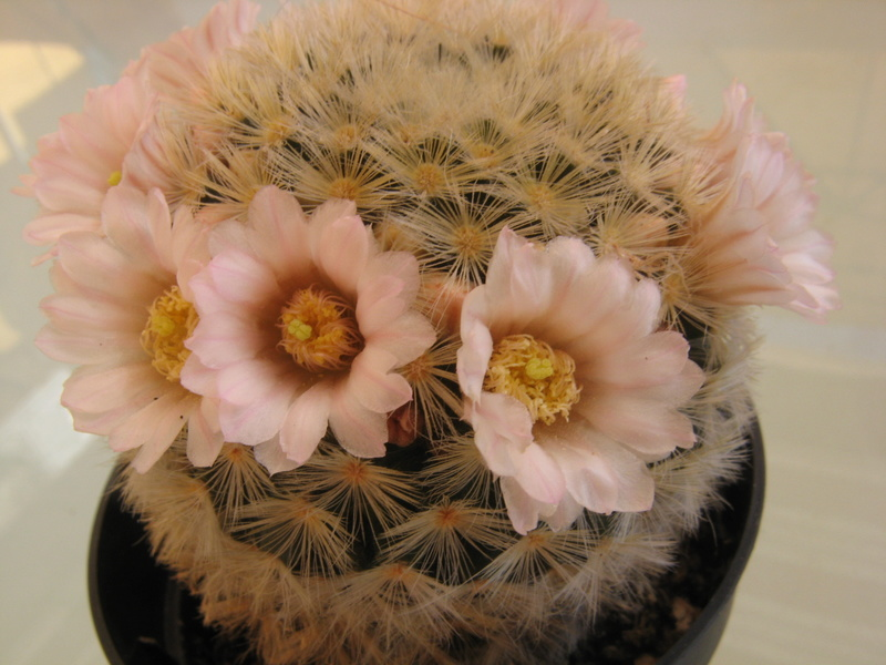 Flowering now. Mamm_c11