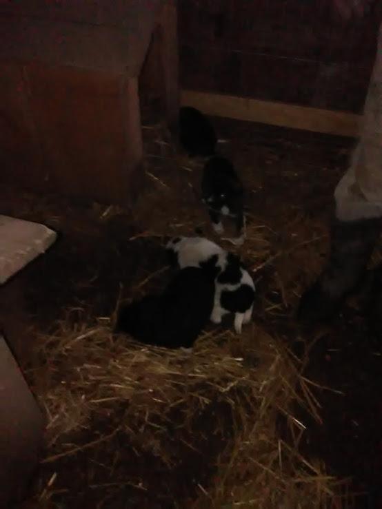Christo - CHRISTO, mâle, noir poitrail blanc, né en NOV 2017, portée de Naola trouvé enfermé dans un sac- Marrainé par Magda D. -R-SC Img_2022