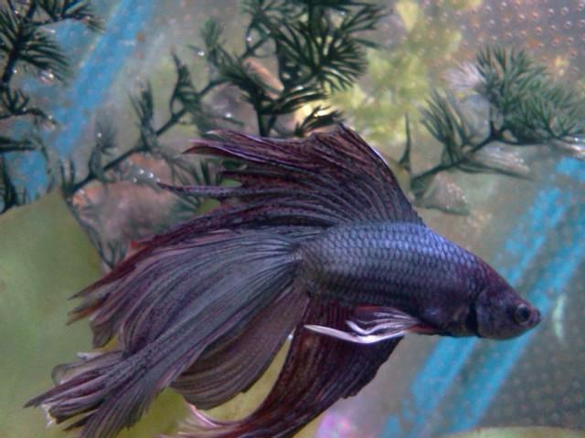 Betta Fish! 05010