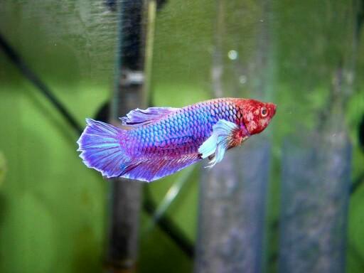 Betta Fish! 100_1710
