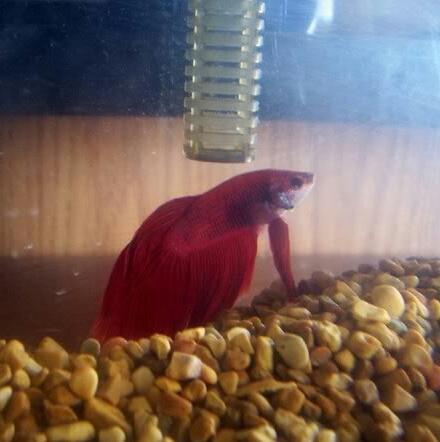 Betta Fish! 100_2110