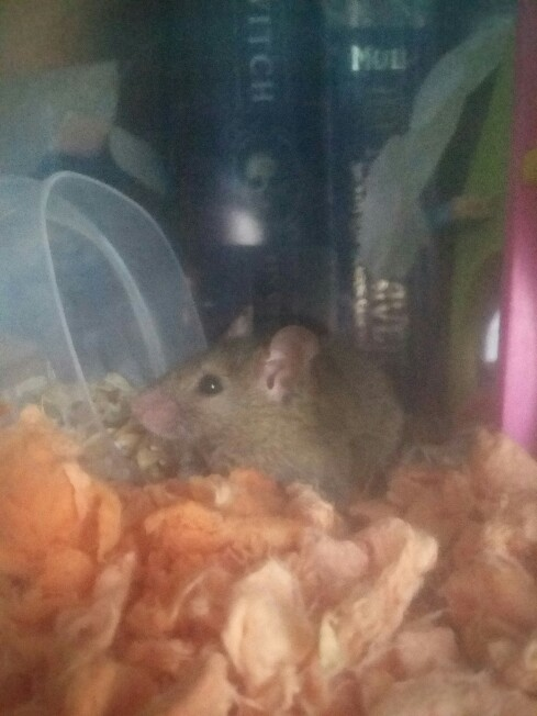 Young Wild Mouse 20171111