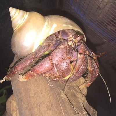 Land Hermit Crabs Ebb8ca10