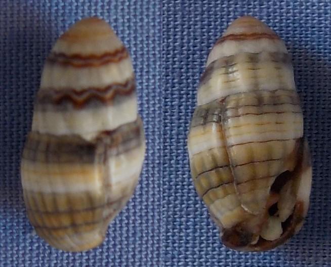 Petite coquille de Réunion à identifier 13_5mm10