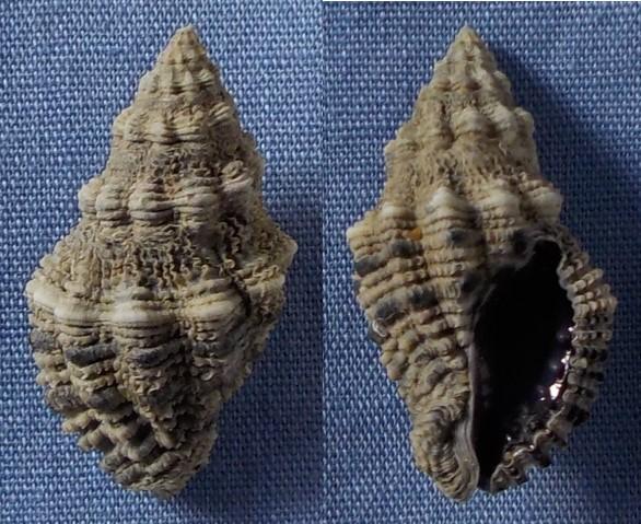 Drupella margariticola (Broderip 1832) 22_5mm10