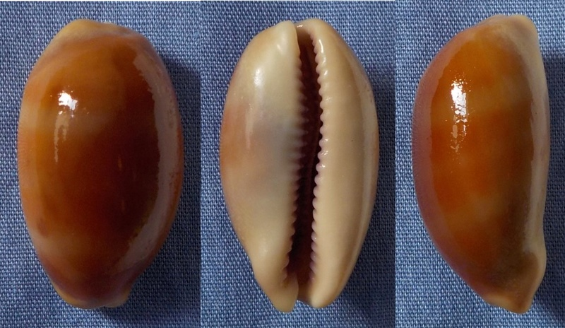 Cypraea asiatique à identifier 28mm_c10