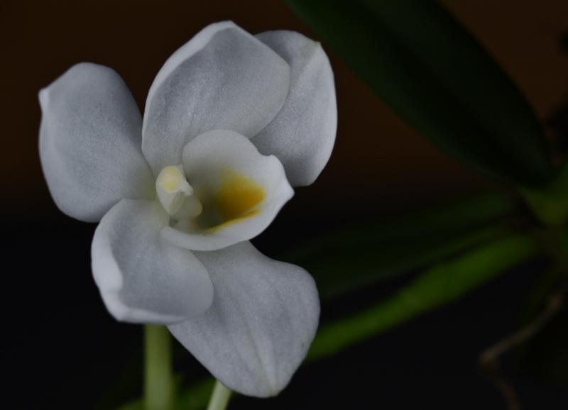 Amesiella monticola Nr_11210