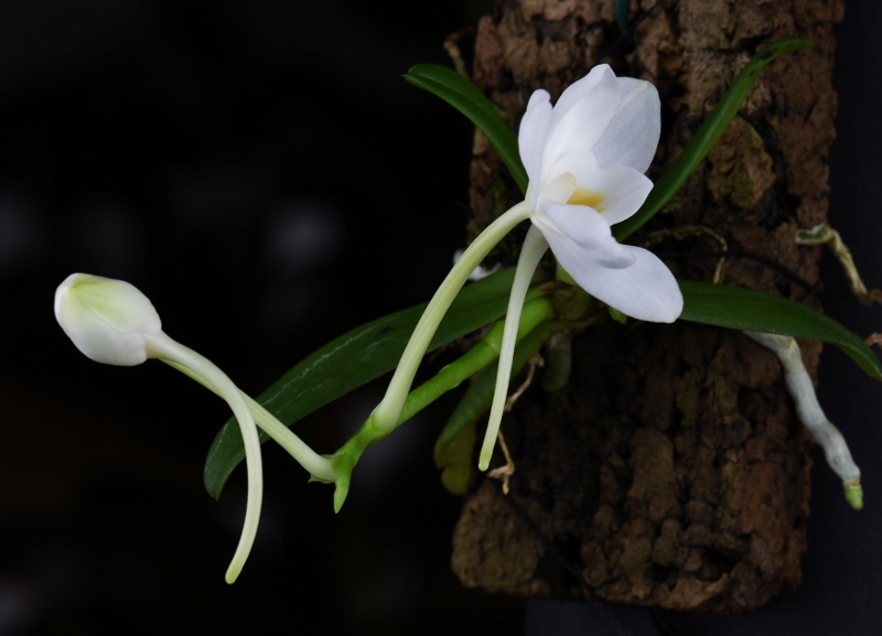 Amesiella monticola Nr_11211