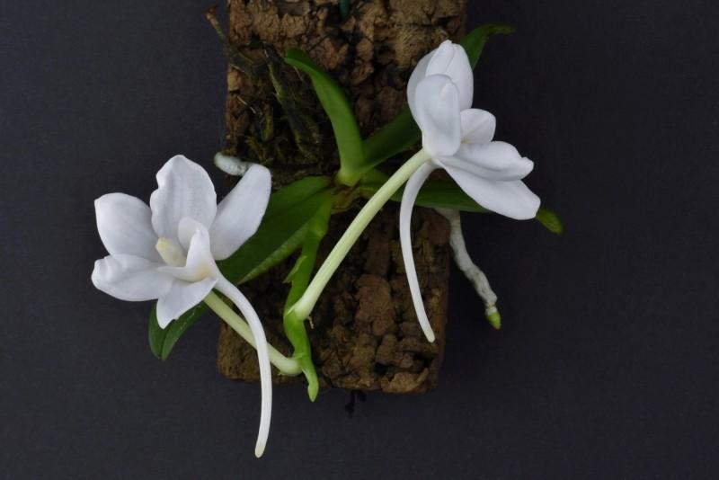 Amesiella monticola Nr_11213