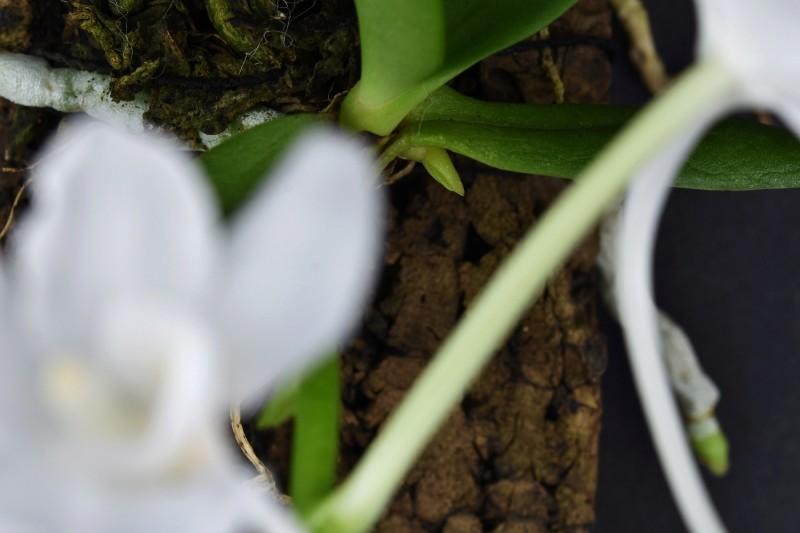 Amesiella monticola Nr_11214