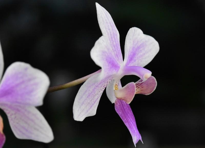 Phalaenopsis equestris x philippinensis (Carolina Tiny Phil) Nr_16_10