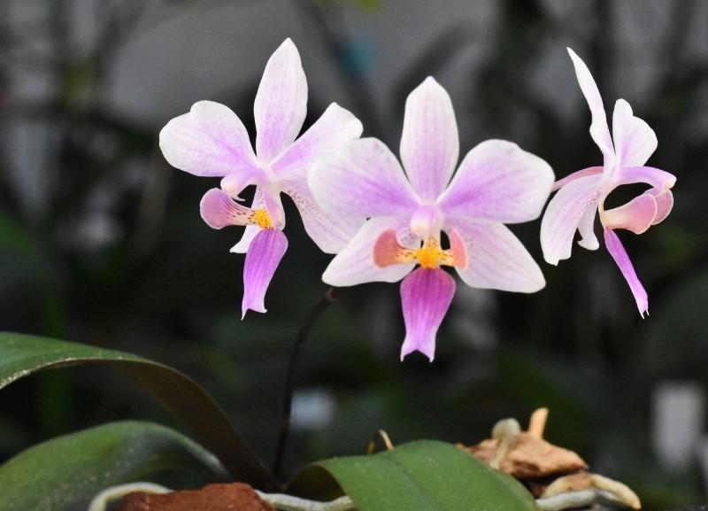 Phalaenopsis equestris x philippinensis (Carolina Tiny Phil) Nr_16_11