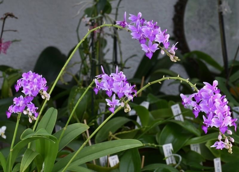 Phalaenopsis pulcherrima x equestris (Purple Gem) Nr_19_13