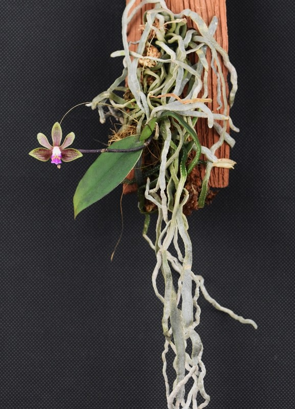 Phalaenopsis braceana x finleyi (Lea Mini) Nr_29611