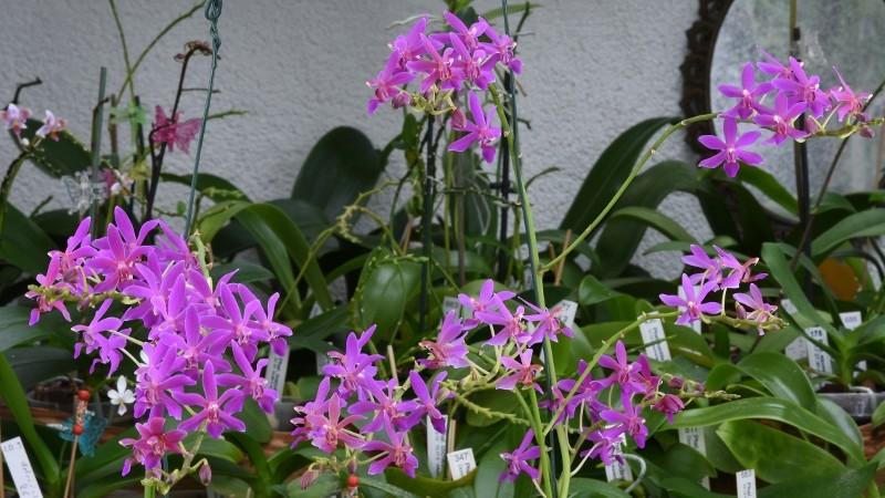 Phalaenopsis pulcherrima x equestris (Purple Gem) Nr_30710