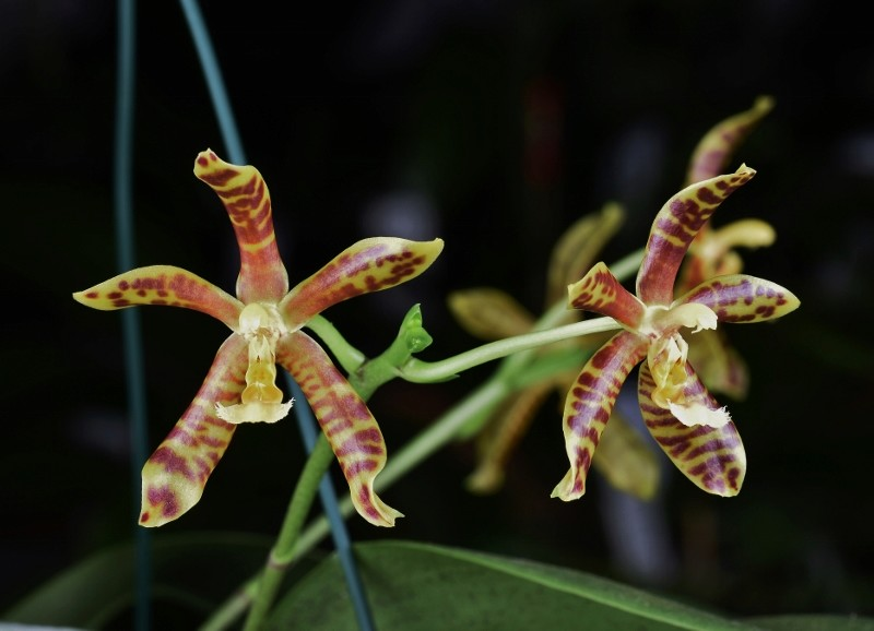 Phalaenopsis gigantea x mannii (Rosie Clouse) Nr_43710