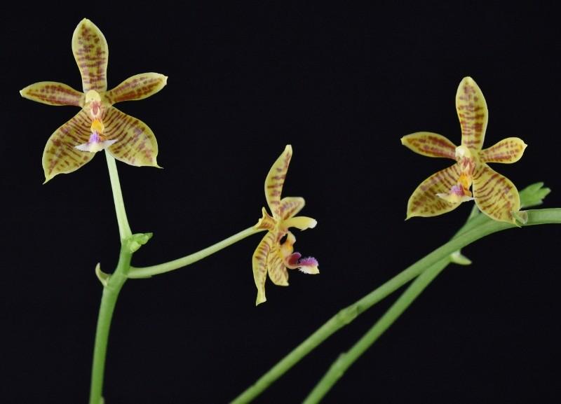 Phalaenopsis floresensis x mannii (Man Force) Nr_43_12