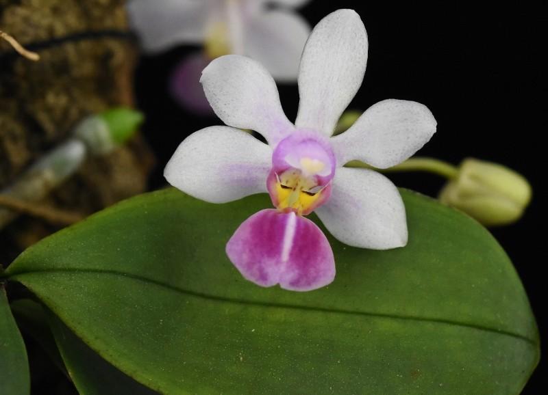 Phalaenopsis wilsonii x lobbii (Petite Odette) Nr_44410