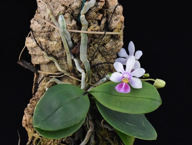 Phalaenopsis wilsonii x lobbii (Petite Odette) Nr_44411