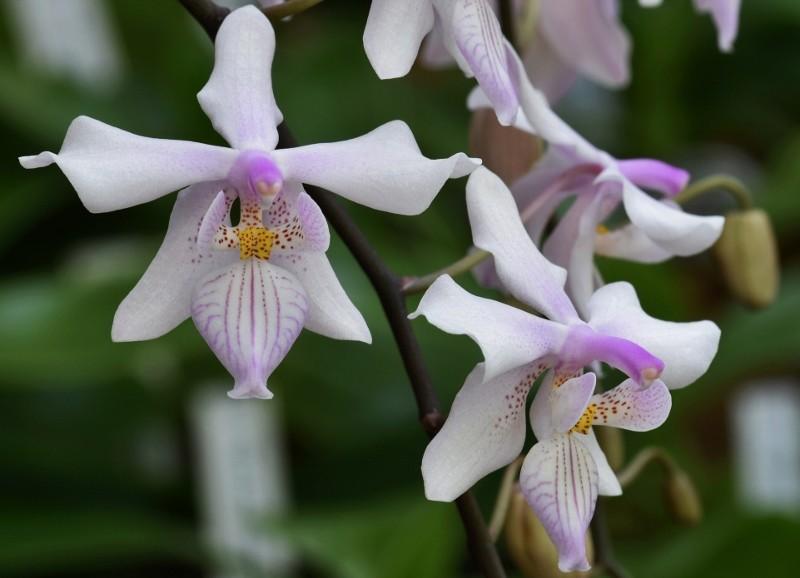 Phalaenopsis schilleriana x lindenii (Phalaenopsis Baguio) Nr_47110