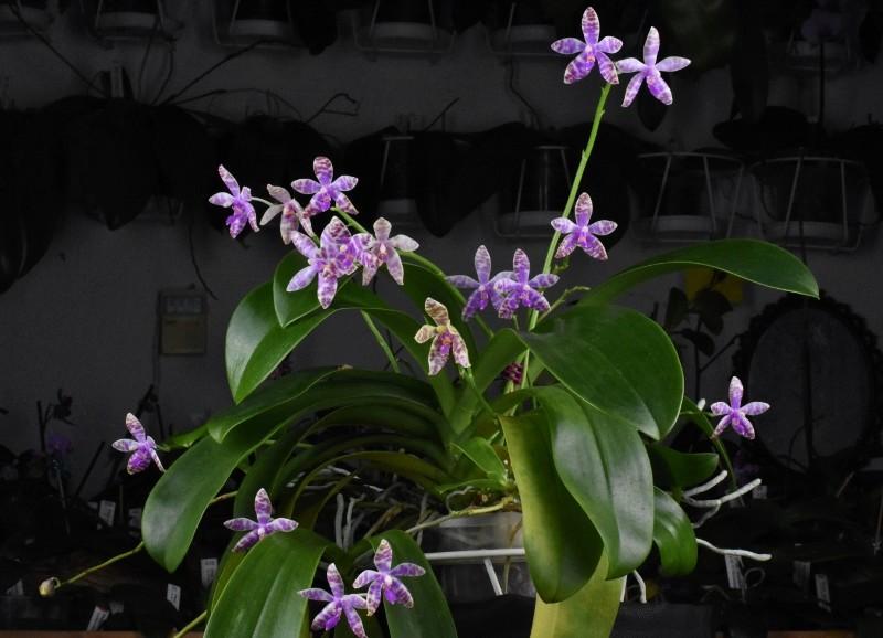 Phalaenopsis lueddemanniana x bastianii (Dreieich Star) Nr_47312