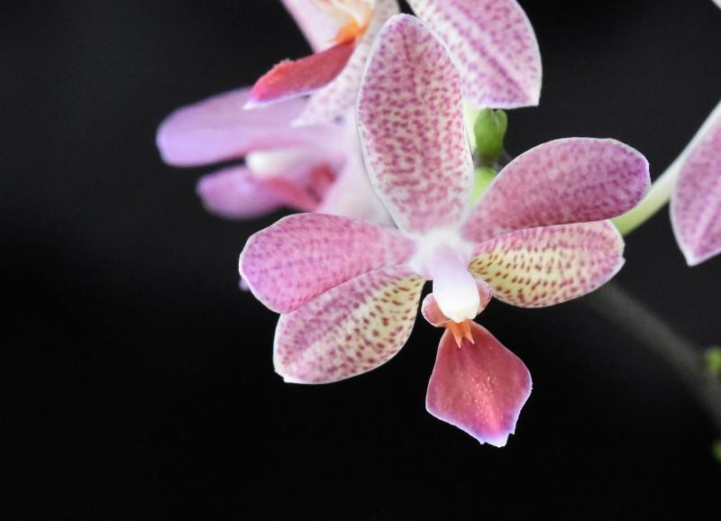 Phalaenopsis equestris x mariae (Rose Marie) Nr_48911