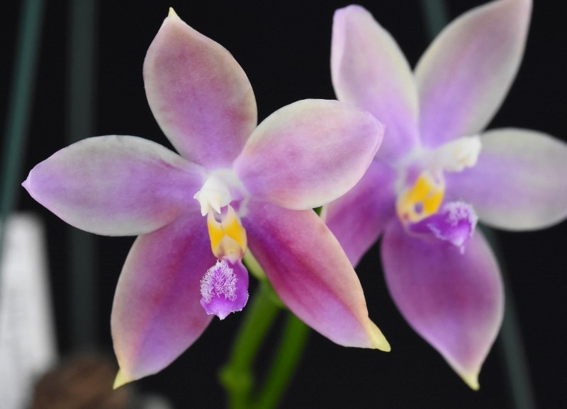 Phalaenopsis tetraspis x bellina (Tetra Bell) Nr_54710
