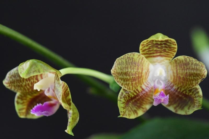 Phalaenopsis venosa x javanica (Java Sunshine) Nr_57310