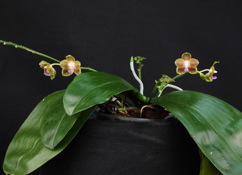 Phalaenopsis venosa x javanica (Java Sunshine) Nr_57311