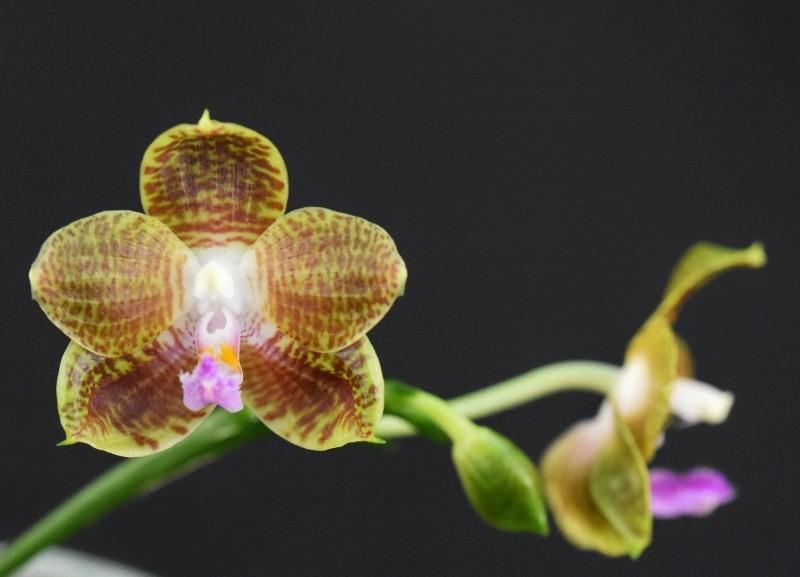 Phalaenopsis venosa x javanica (Java Sunshine) Nr_57312