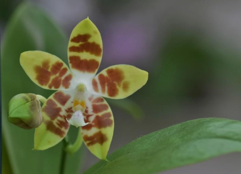 Phalaenopsis speciosa X venosa (Venosasp) Nr_59012