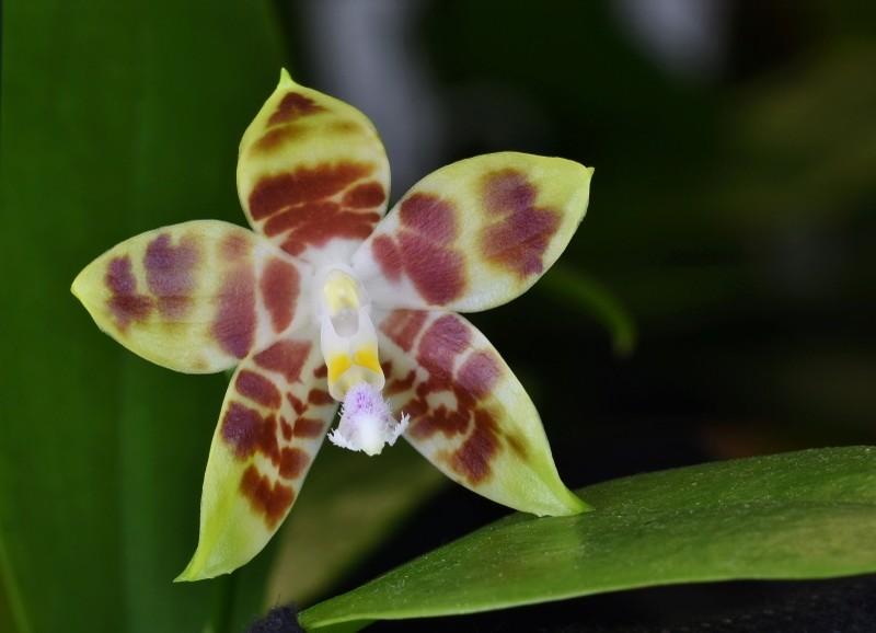 Phalaenopsis speciosa X venosa (Venosasp) Nr_59013
