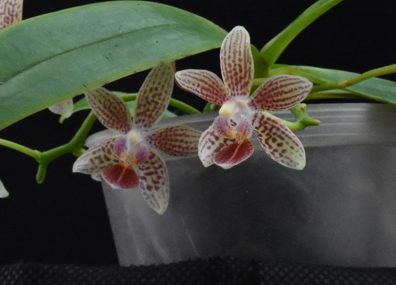 Phalaenopsis equestris x kunstleri (Musick Mini Dots) Nr_63713